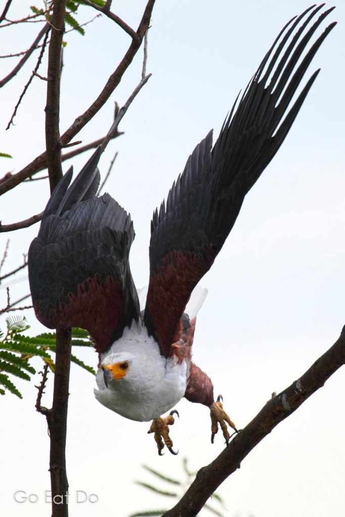An African Fish Eagle (Haliaeetus vocife) taking off from a tree in Akagera National Park, Rwanda.