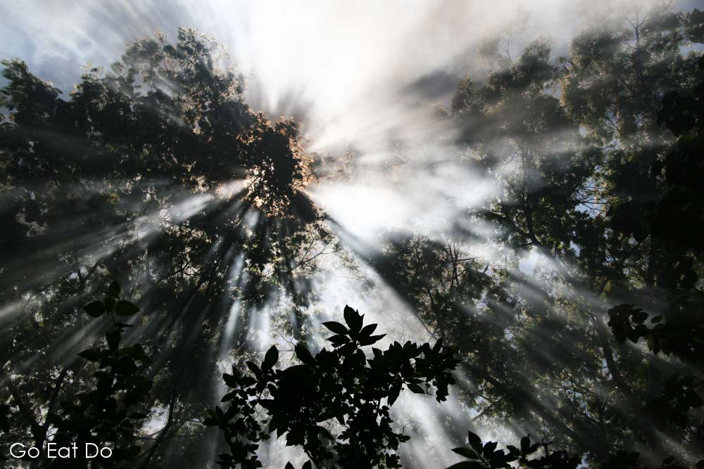 Sunlight shines through leaves illuminating smoke from the steam engine of the Nilgiri Mountain Railway in Tamil Nadu