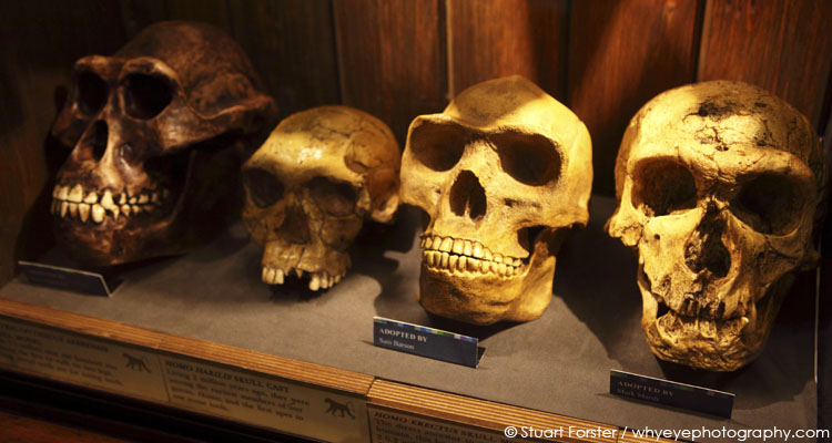 Primate skulls at the Grant Museum in London, England