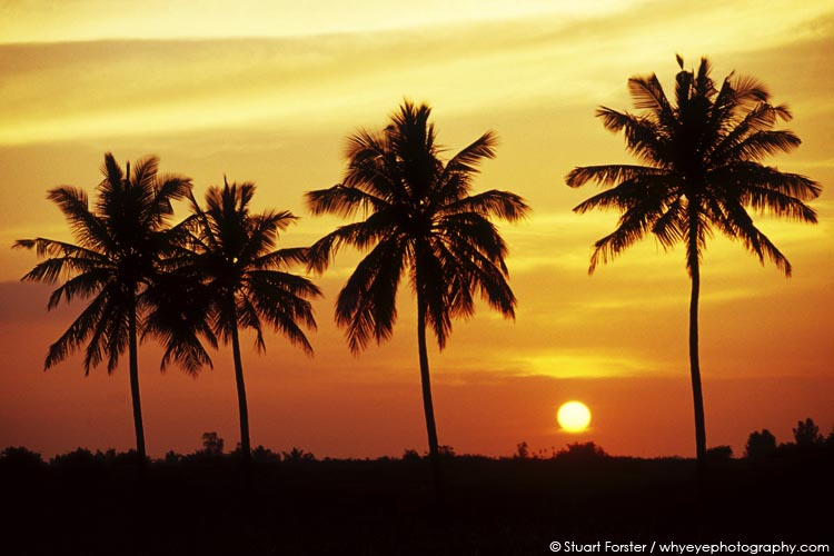 Beautiful golden sunset, with the sun low in the sky, over palm trees in Kumarakom, Kerala, India