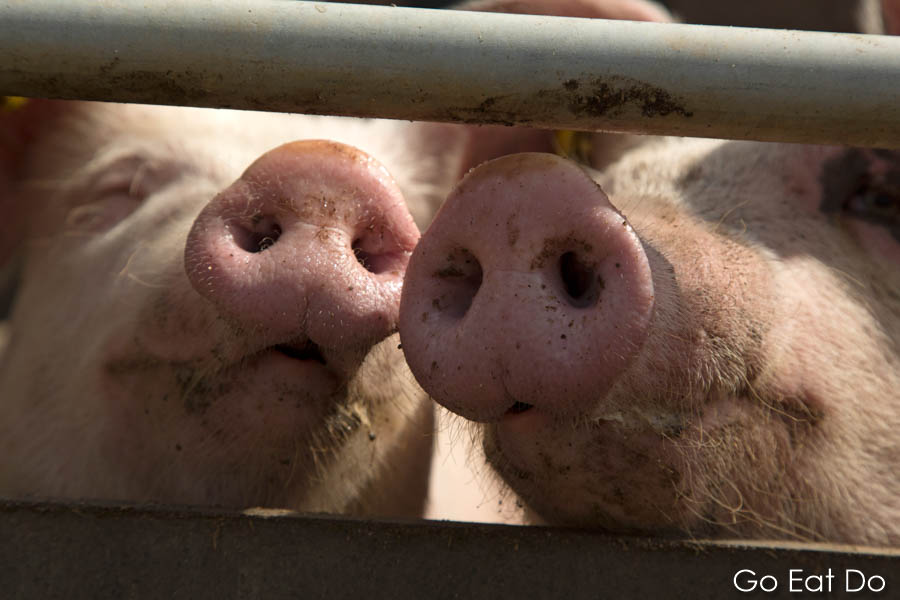 Pig snouts peeking out from a sty at the pig farm at Lilbosch Abbey in Echt, the Netherlands.