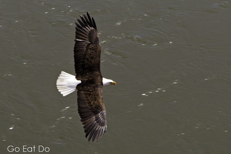 Bald eagle gliding above the Fraser River in British Columbia, Canada