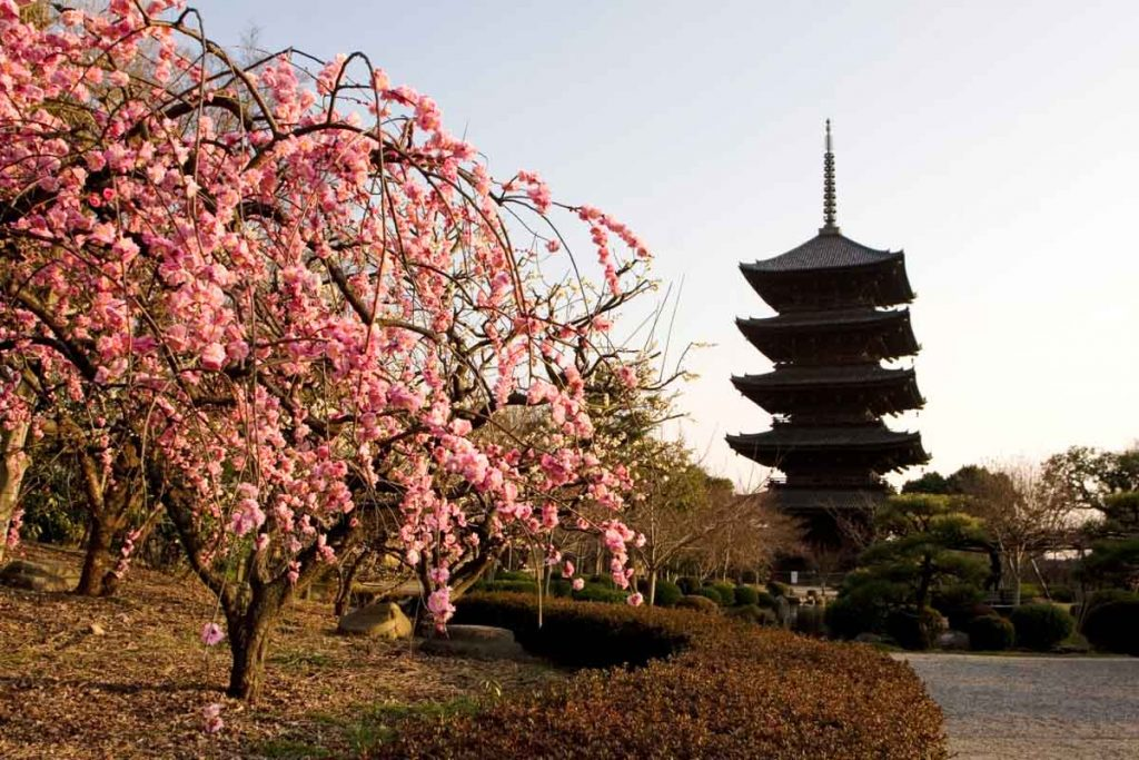 Plum blossom blooming at the Toji Temple in Kyoto, Japan