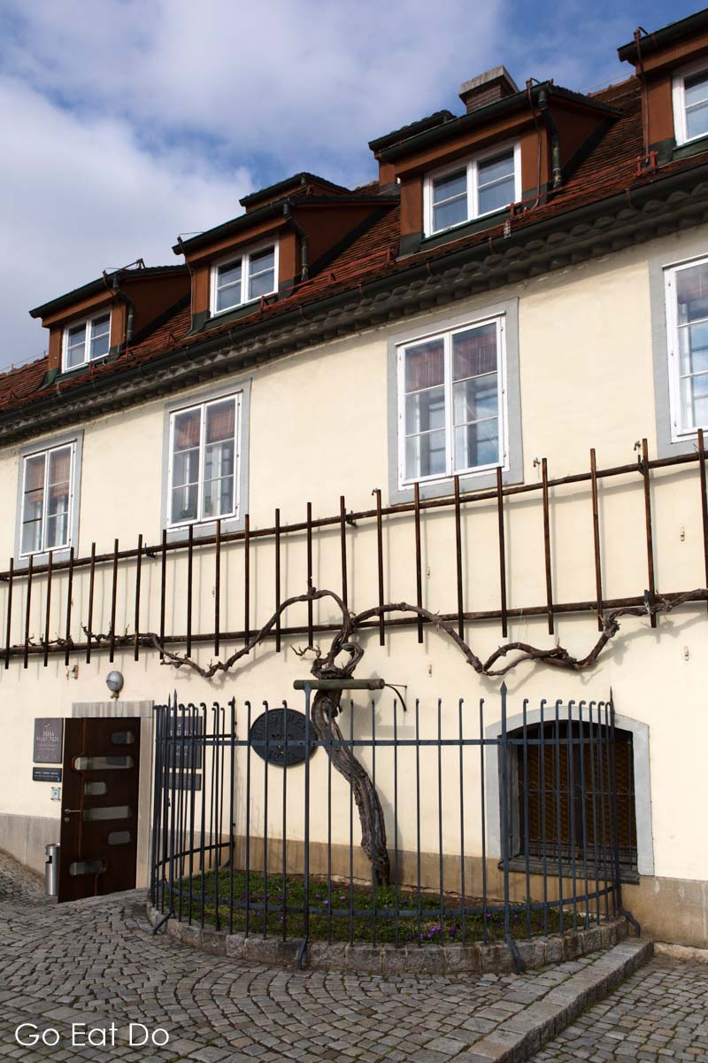 450-year-old vine outside of the Old Vine House in the Lent district of Maribor.
